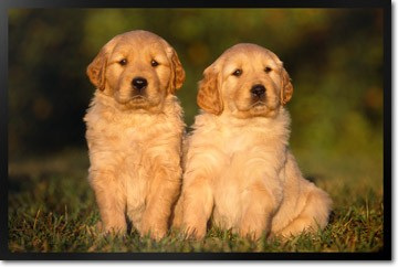 Golden Retriever Puppies on Grass
