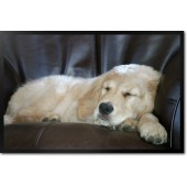 Golden Retriever Thunderslumber