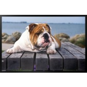 Bulldog on Bench